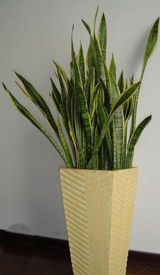 大型室内植物